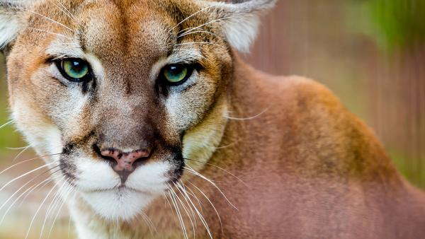Mountain Lion at Big Cat Rescue