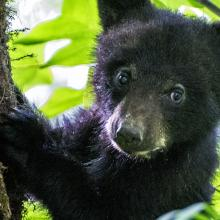 Wild black bear cub climbs a tree with his mom watching from below
