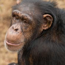 Chimpanzee looking over his shoulder