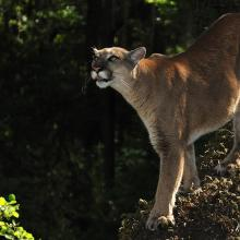 Florida panther in a tree