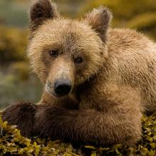 young grizzly bear sitting on a mossy rock