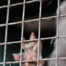mink in a cage at a fur farm
