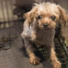 Poodle in dirty cage at a puppy mill