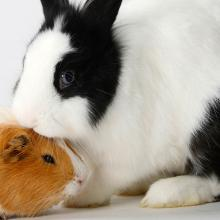 black and white rabbit with a brown and white guinea pig