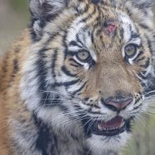 tiger rescued in Texas, now living at BBR