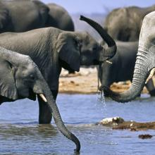 group of elephants in the water