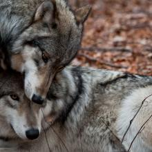 Two affectionate gray wolves