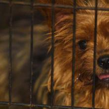 yorkie in a tiny cage in a puppy mill