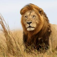 Lion gazes out over savanna